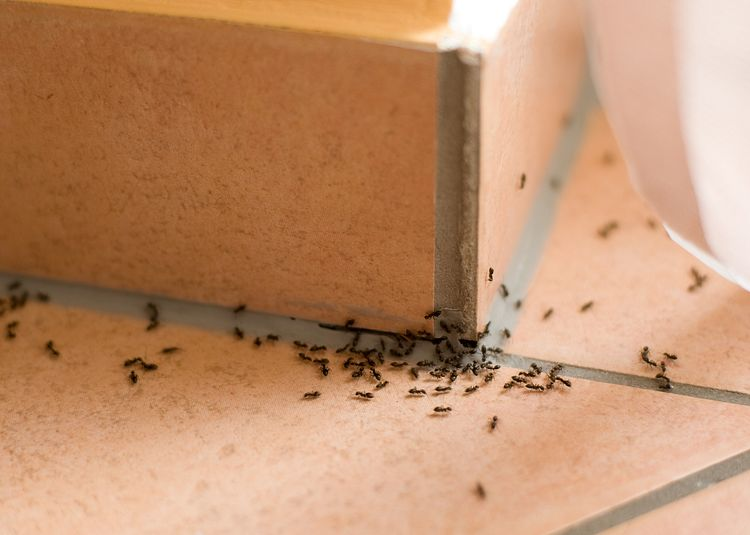 Earwig Control: Identification, Remediation and Prevention